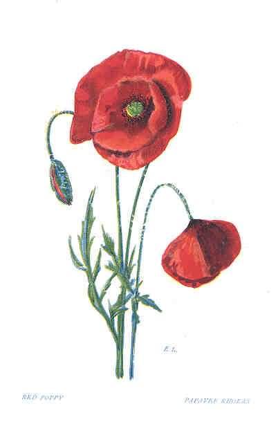 Red poppy flowers tattoos design mightylinksfo