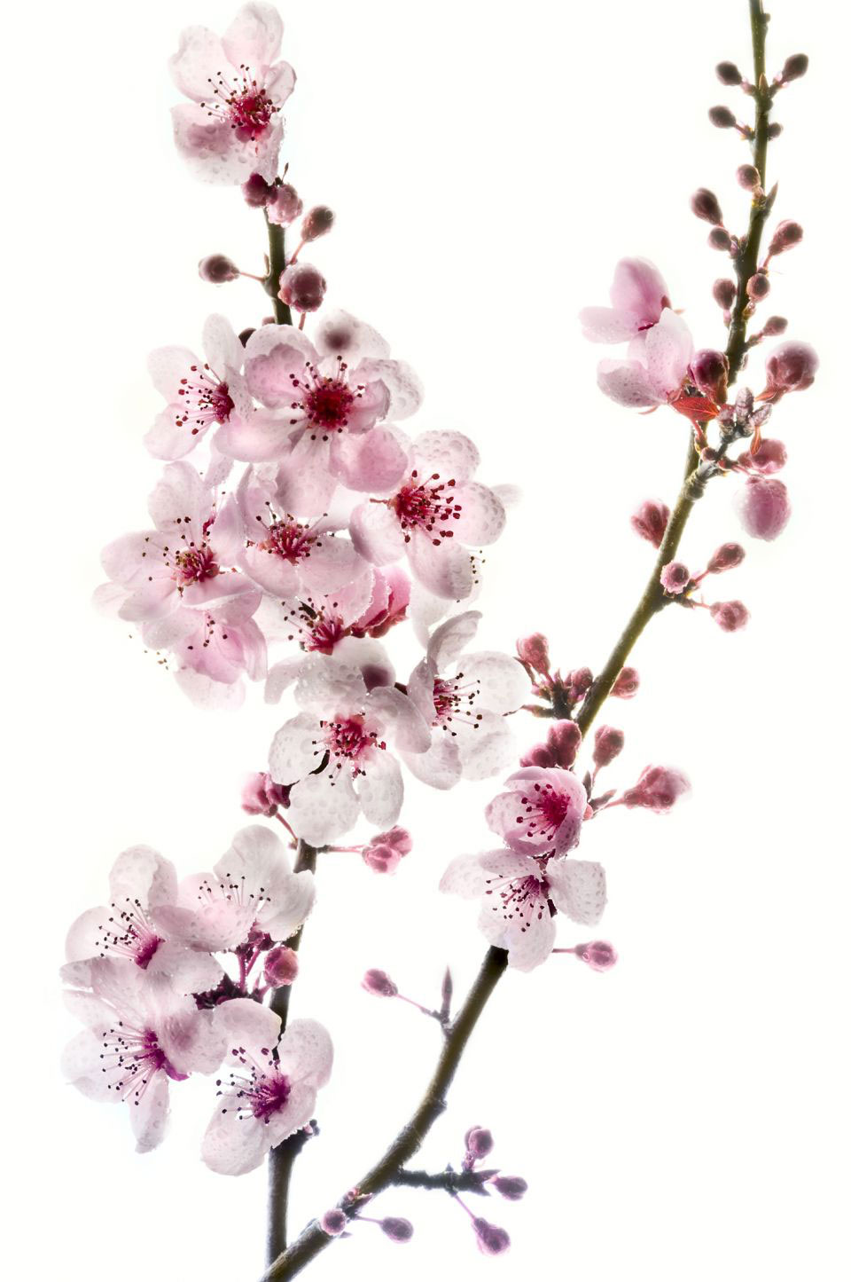 Cherry Blossom Flowers Geisha Tattoo Design